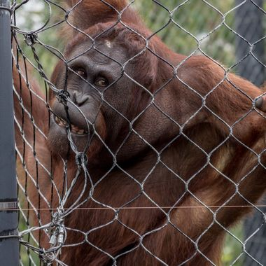 This photo of an orangutan was taken at the Henry Doorly Zoo.  At first, I thought he was hamming it up for the cameras, but it appears he is more intent on chewing on his enclosure.