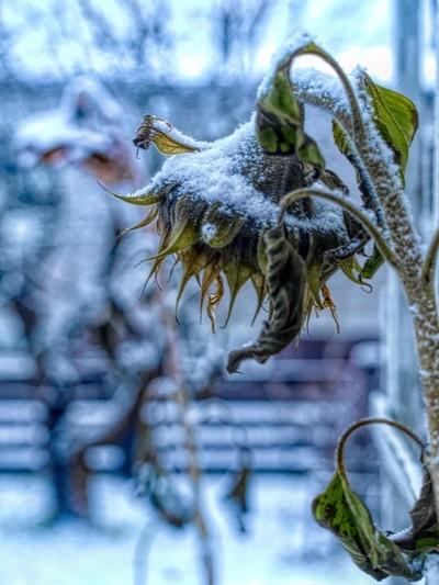 first frost winter trossle