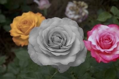 roses_by_imashutterbug