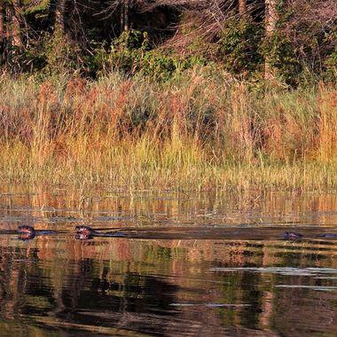 Wild otter family feeding in Blind Bay Rainy Lake Nikon Coolpix 6500