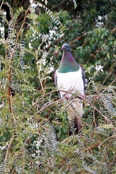 Kereru in kowhai tree