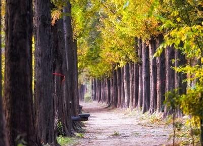autumn metasequoia road