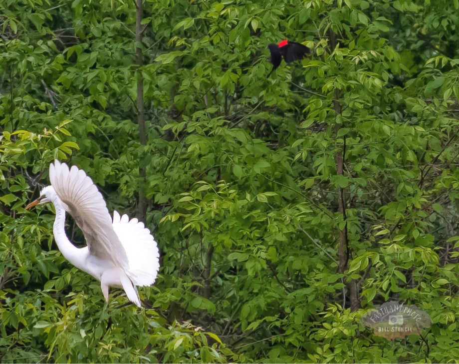 Egret chased by a blackbird