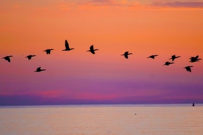 Geese heading South