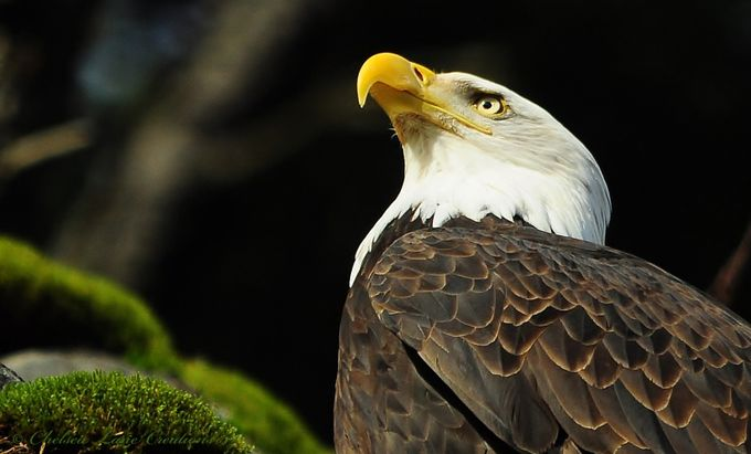 Bald Eagle on Mossy Rock by ChelseaLaneCreations - Social Exposure Photo Contest Vol 13