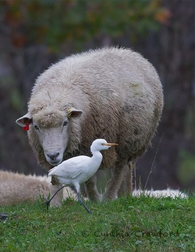 Curiosity- Sheep and cattle Egret