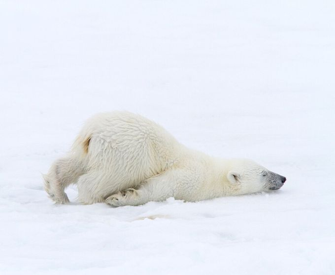 Polar bear cub- Svalbard by photosanity - Bears Photo Contest