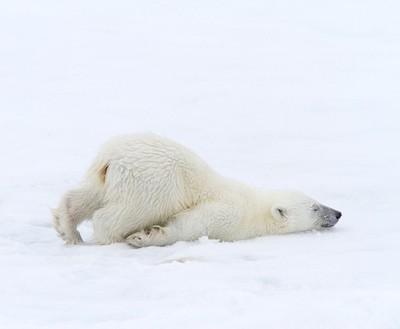 Polar bear cub- Svalbard