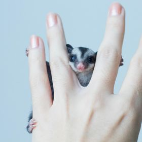 """Betelnut"" is a baby sugar glider I had while living in Bangkok, Thailand."