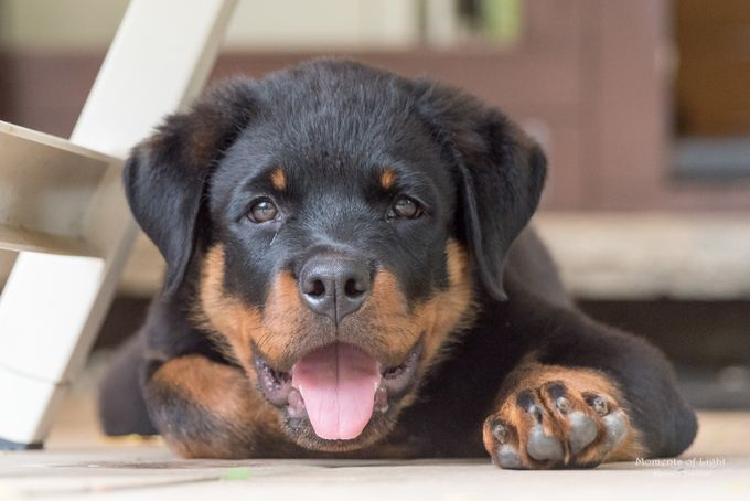 Rottweiler by helmuttischer - Kittens vs Puppies Photo Contest