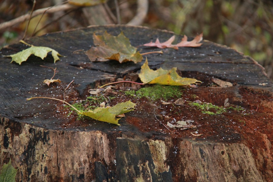 Fallen leaves on a stump