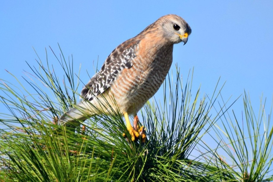 redshouldered hawk