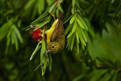 Female Brown-throated Sunbird.