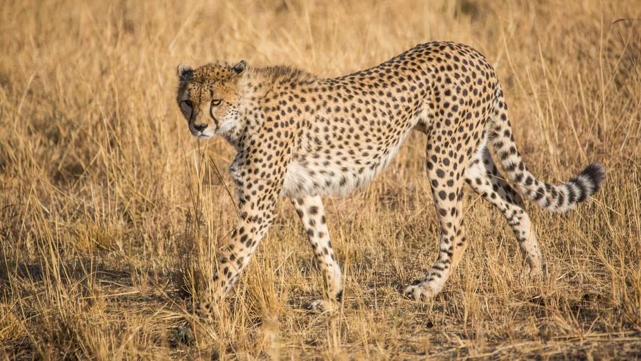 Acinonyx jubatus, Masai Mara, Kenya, 9 September 2016