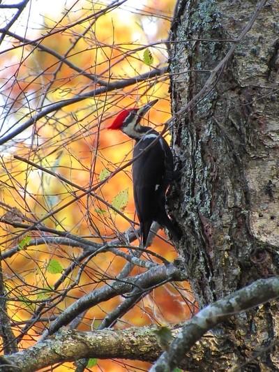 Red headed woodpecker.  Petit Jean Mountain