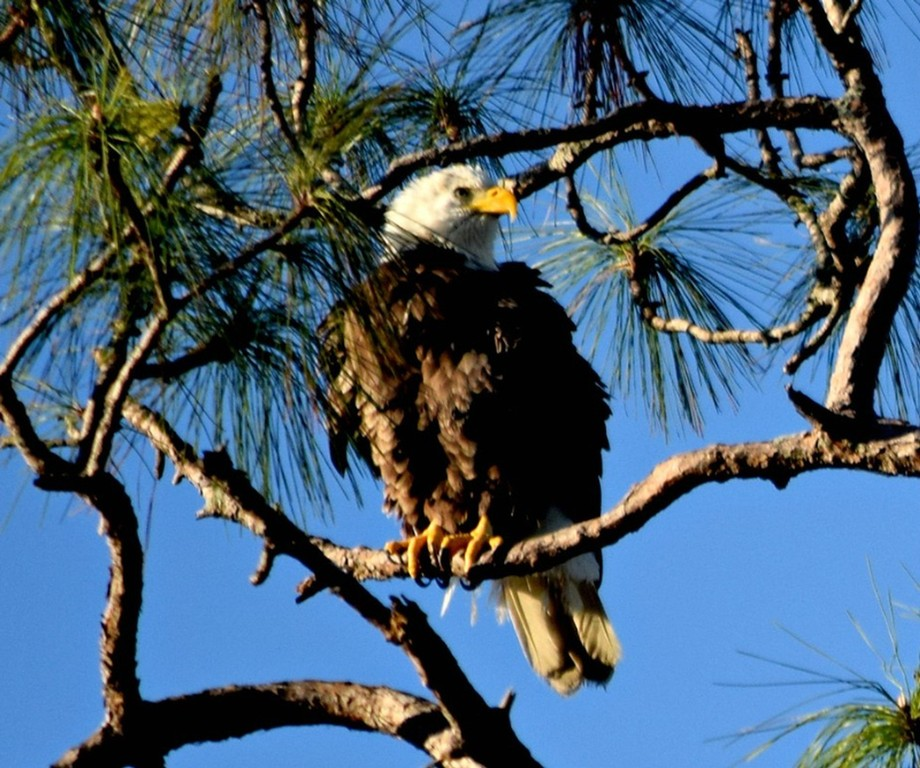 fluffy young bald eagle