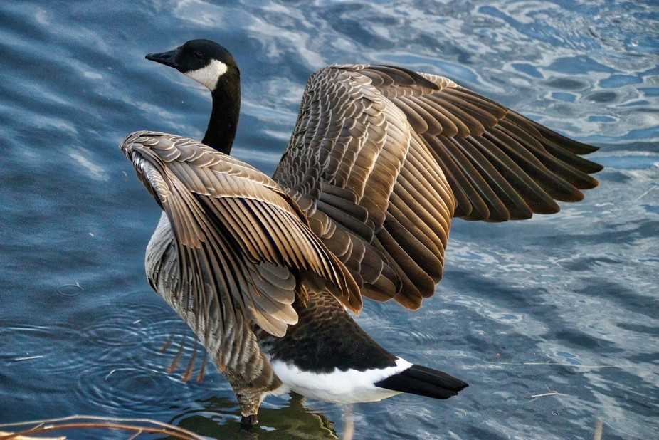Canadian Goose in a lake in Colorado preparing to fly off