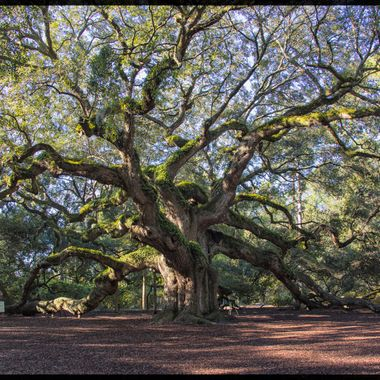 Wonder of nature, believed to be the oldest tree east of the Mississippi, name Angel Oak. (estimated to be 400-500 years old). The limbs on this tree are amazing!