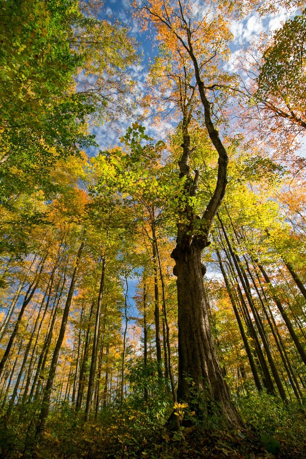 Fall Trees by FromFrostToFlowers - Tall Trees Photo Contest