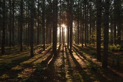 Sunrise Through the Pines