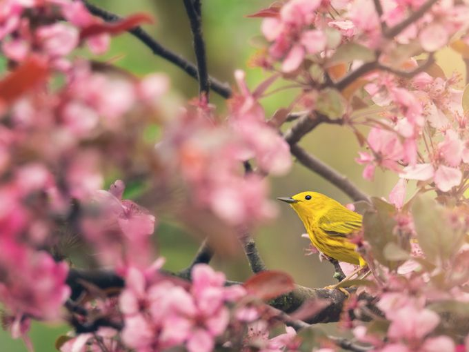 Yellow Warbler with Cherry Blossoms by tracymunson - Monthly Pro Vol 38 Photo Contest