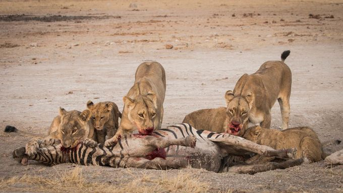 Lionness and cubs by jacquiscott_2559 - Food Chain Struggles Photo Contest