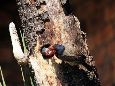Black Collared Barbet Feeding