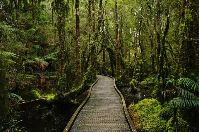 Kahikatea swamp forest walk  by WeiLing - Promenades And Boardwalks Photo Contest