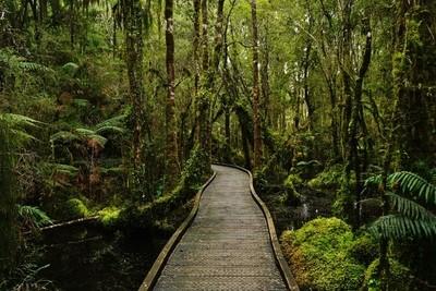 Kahikatea swamp forest walk