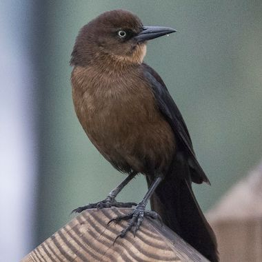 Boat tailed grackle, posing for a picture - and begging for handouts.