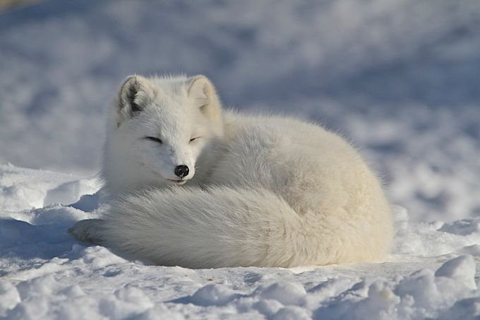 Arctic Fox Close Up by roselandry - Monthly Pro Vol 38 Photo Contest