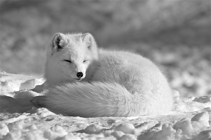 Arctic Fox B&W by roselandry - Image Of The Month Photo Contest Vol 28