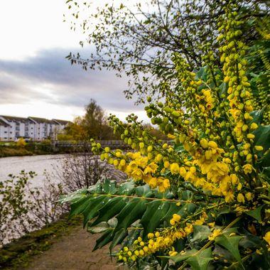 Flowers in Bloom in November by the River Nairn