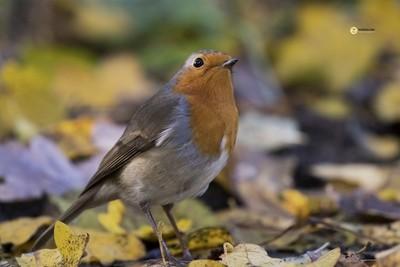 Red Robin on the ground, De Bilt