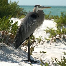This photo of a Great Blue Heron was taken at Fort Desoto Park in Saint Petersburg Florida. There are so many beautiful birds at this park.