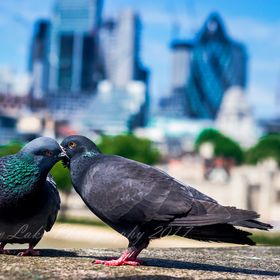 Pigeon pals, Tower Bridge, London
