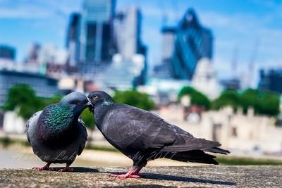 Pigeon pals, Tower Bridge, London
