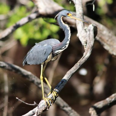 Tricolored Heron in Tree