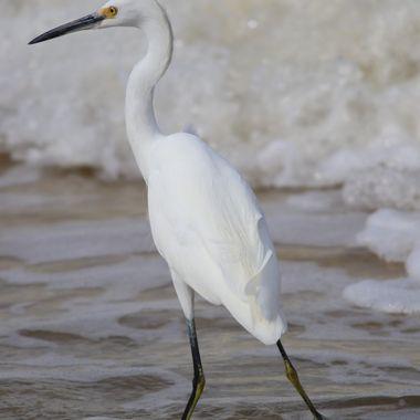 snowy Egret dance