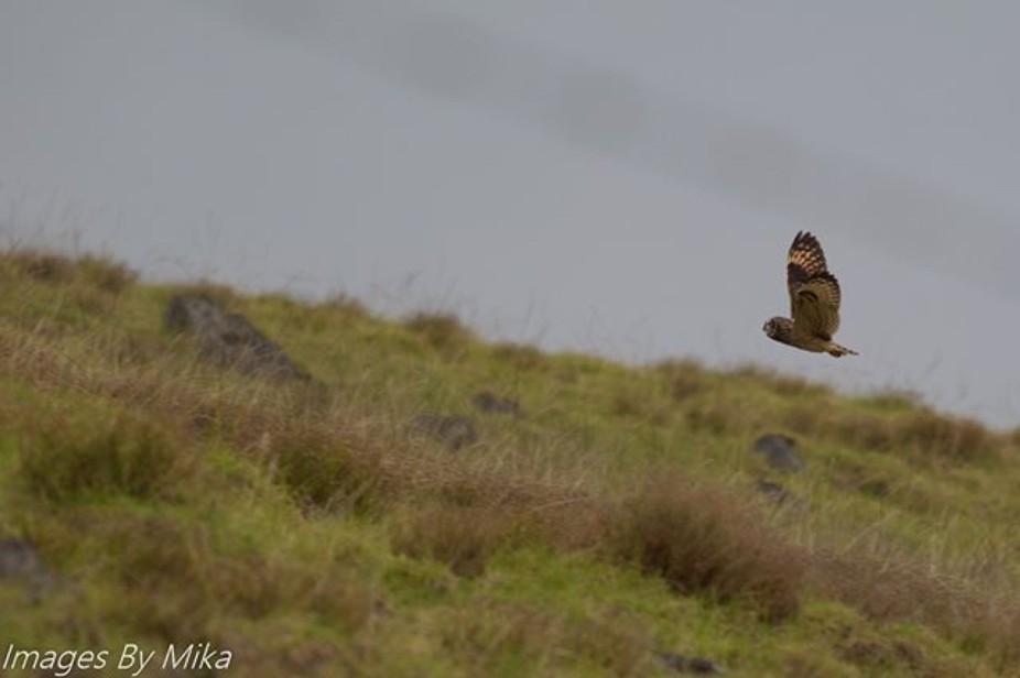 A Pue'o flying over the fields in Waimea on the Big Island.  #Pue'o #HawaiiPhotography ...