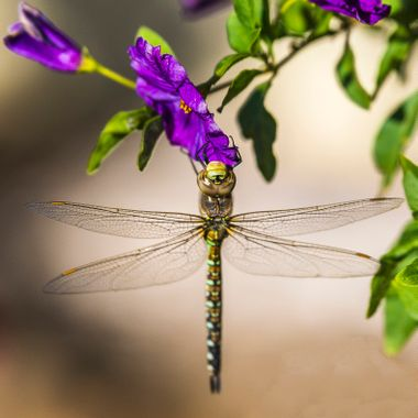 A dragonfly enjoying a potato tree blossom.