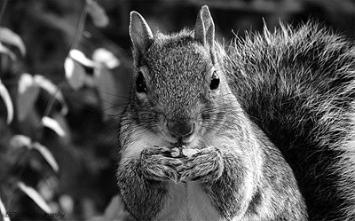 Our garden squirrel, Little Miss Queenie enjoying a walnut