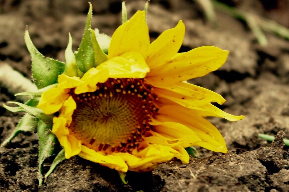 This was a young sunflower bloom left behind on a field that had been harvested
