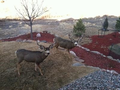 Backyard Deer, Colorado Springs, CO