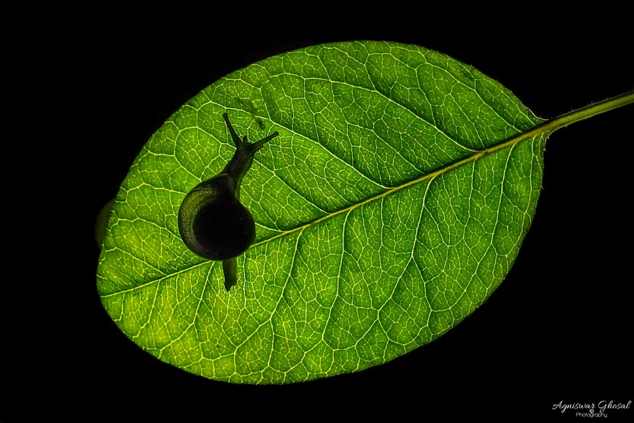 A little snail walking on a leaf...