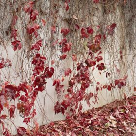 Red Iyv leaves on wall