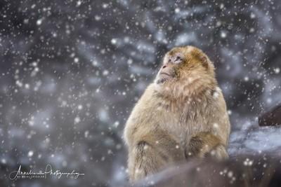 makake in the snow