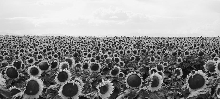 Miles of Sunflowers