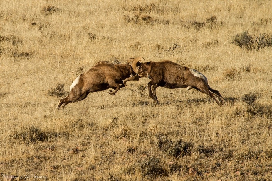 Two Rocky Mountain Bighorn rams battle to win the rights to a band of ewes during the fall rut.