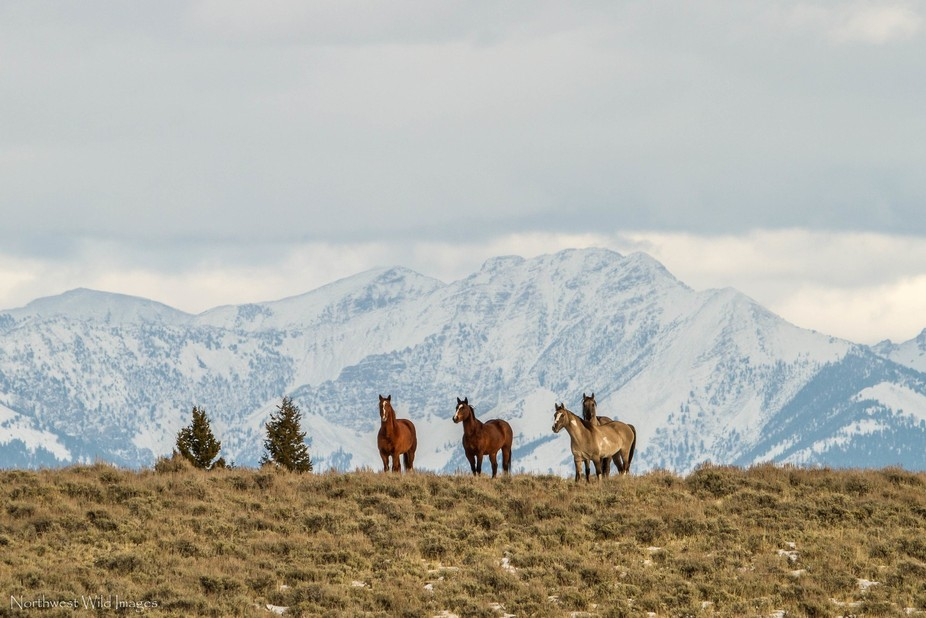 A group of range horses pose in front of the Lemhi range in Idaho.